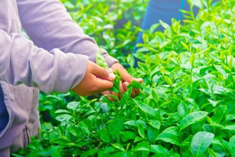 """Lý do khiến Thái nguyên trở thành vùng đất """" Đệ nhất danh trà"""""""