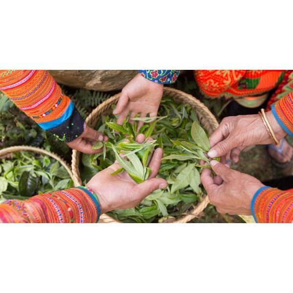 Công dụng giảm cân hiệu quả của trà shan tuyết cổ thụ