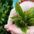 Trà sạch Thái Minh-vì sức khỏe người tiêu dùng